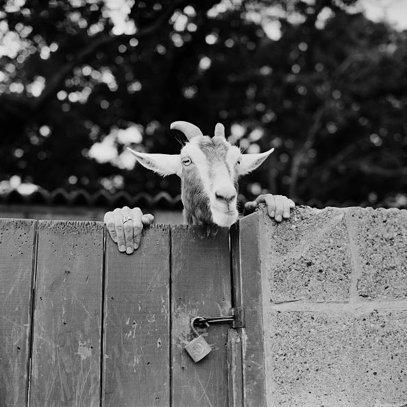Goat「Chimera」:写真・画像(14)[壁紙.com]