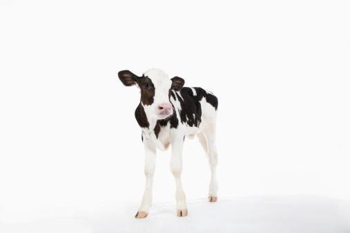 Dairy Cattle「Calf 」:スマホ壁紙(6)