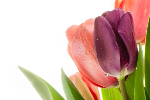 flower「色とりどりのチューリップ」:スマホ壁紙(2)