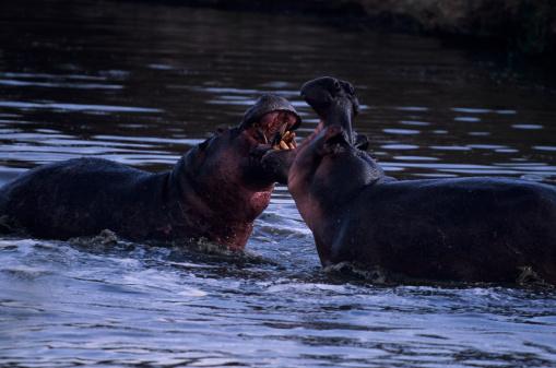 Battle「Two hippopotami (Hippopotamus amphibius) duelling in waterhole, Kenya」:スマホ壁紙(10)