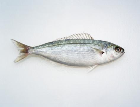 コンゴ民主共和国「Hoopla Snapper Fish on white」:スマホ壁紙(1)