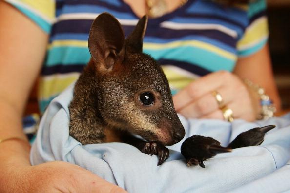 Animal「Fears For Wildlife In Australian Bushfires」:写真・画像(6)[壁紙.com]