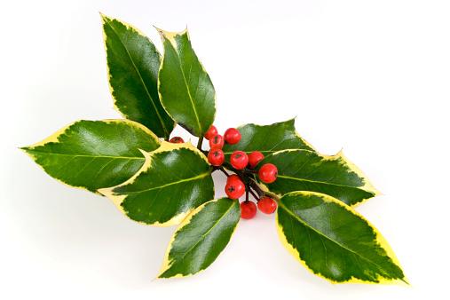 Variegated Foliage「Christmas holly spray」:スマホ壁紙(19)