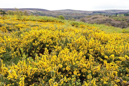 イギリス「Yellow gorse flowering in late April on Exmoor National Park at Webbers Post near Luccombe,Somerset UK」:スマホ壁紙(18)