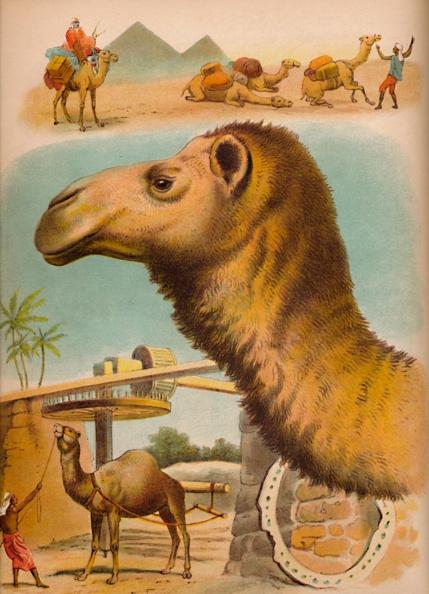 Working Animal「The Camel Circa 1900」:写真・画像(4)[壁紙.com]