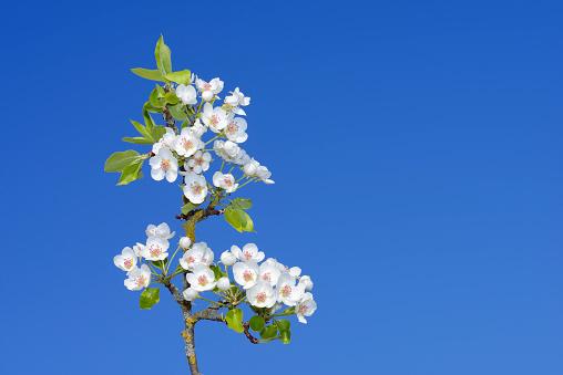 flower「Pear Tree (Pyrus communis) brach with blossoms against clear blue sky.」:スマホ壁紙(3)
