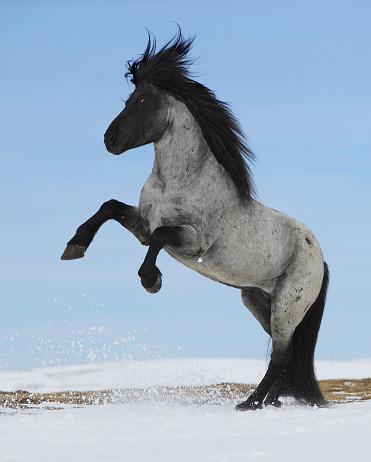 Stallion「Purebred Icelandic stallion rearing in snow」:スマホ壁紙(18)