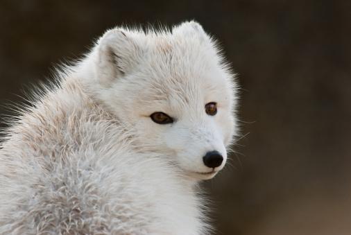 Arctic Fox「Arctic Fox in Winter Coat」:スマホ壁紙(17)