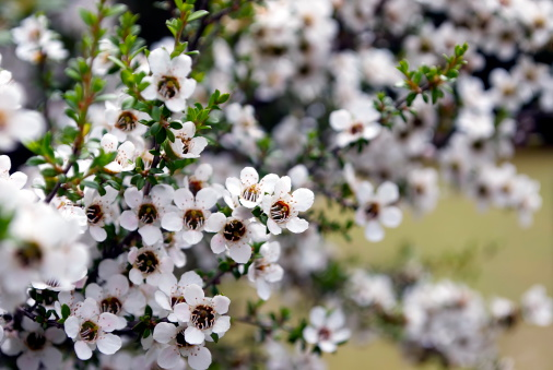 Wildflower「Manuka (Leptospermum scoparium) Tea Tree」:スマホ壁紙(15)