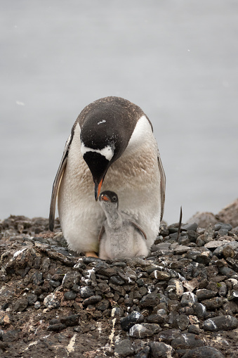Aitcho Island「Nesting gentoo penguin feeds chick Aitcho Island South Shetlands Islands Antarctica」:スマホ壁紙(4)