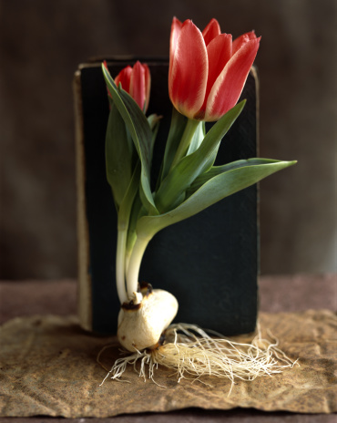 Plant Bulb「Red tulip with bulb and roots」:スマホ壁紙(18)