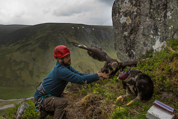 Animal Wildlife「Golden Eagles Are Tagged As Part Of National Survey」:写真・画像(16)[壁紙.com]
