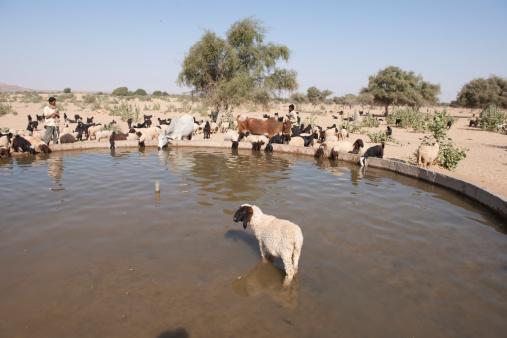 Animal Ear「Sheep (Ovis aries) and Jamnapari goats (Capra aegagrus hircus) and cattle (Bos tarurus) drinking, Rajasthan, India」:スマホ壁紙(10)