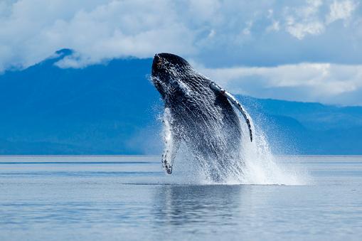 Humpback Whale「Breaching Humpback Whale, Alaska」:スマホ壁紙(9)