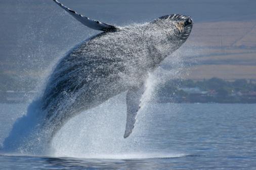 クジラ「ブリーチングハンプバッククジラ」:スマホ壁紙(16)