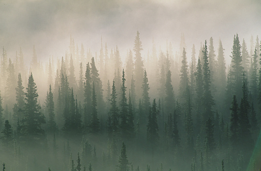 Wilderness「Spruce trees in morning fog, Denali National Park, Alaska, USA」:スマホ壁紙(3)