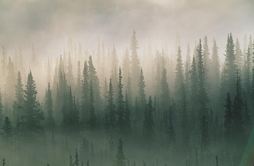 Wilderness「Spruce trees in morning fog, Denali National Park, Alaska, USA」:スマホ壁紙(10)