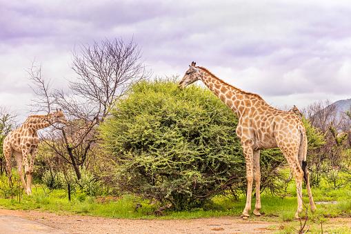 Nature's Window「Giraffe grazing (Giraffa camelopardalis)」:スマホ壁紙(7)