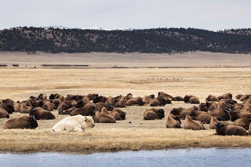 牛「White Bison (Buffalo)」:スマホ壁紙(7)