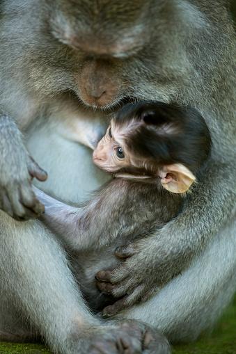 Breast「Young monkey breastfeeding」:スマホ壁紙(18)