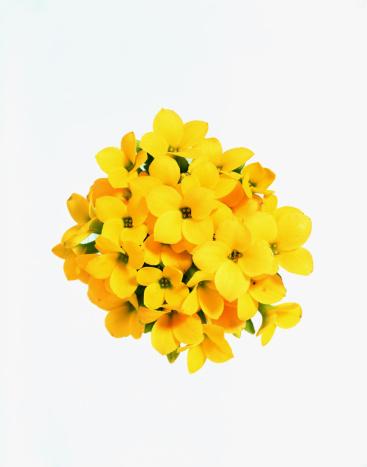 Composition「Yellow kalanchoe flower」:スマホ壁紙(13)