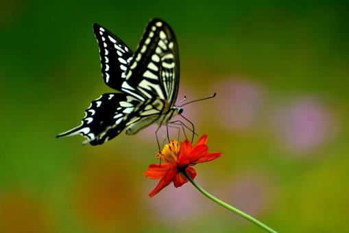 コスモス「蝶とコスモス オレンジ/黄色の花」:スマホ壁紙(7)