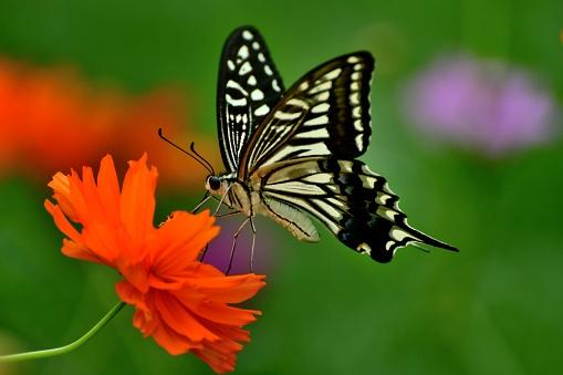 コスモス「蝶とコスモス オレンジ/黄色の花」:スマホ壁紙(9)