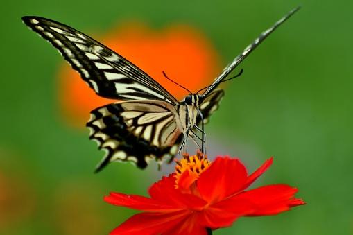コスモス「蝶とコスモス オレンジ/黄色の花」:スマホ壁紙(8)