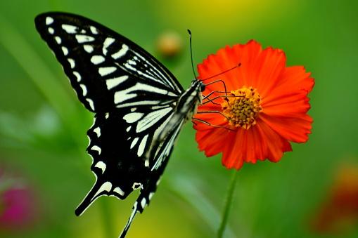 コスモス「蝶とコスモス オレンジ/黄色の花」:スマホ壁紙(11)
