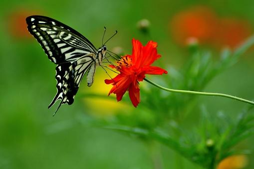 コスモス「蝶とコスモス オレンジ/黄色の花」:スマホ壁紙(10)