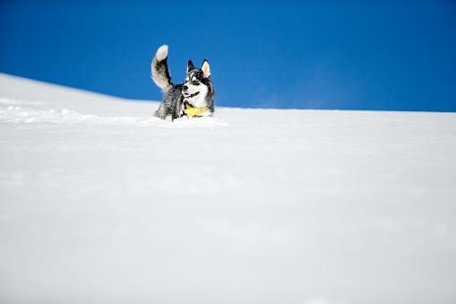 雪の吹きだまり「Alaskan malamute husky dog smiling in deep snow.」:スマホ壁紙(6)