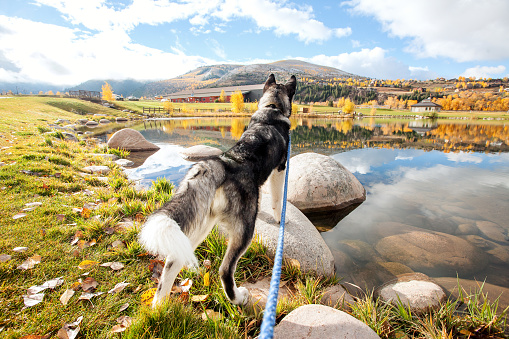 Personal Perspective「Alaskan malamute looking over a lake in the fall.」:スマホ壁紙(11)