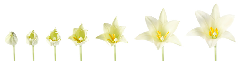 Continuity「Easter Lily Blooming」:スマホ壁紙(14)