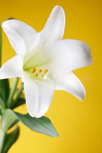 イースター「イースターリリー植物に黄色の背景」:スマホ壁紙(13)