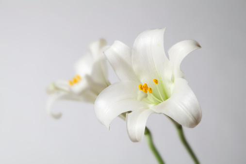 Water Lily「Easter Lily」:スマホ壁紙(10)