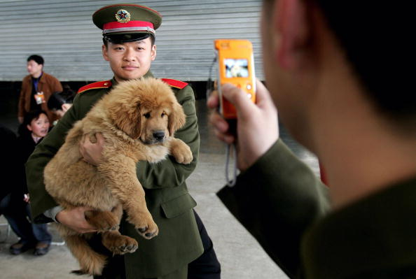 One Animal「A Tibetan Mastiff Exposition Held In China」:写真・画像(12)[壁紙.com]
