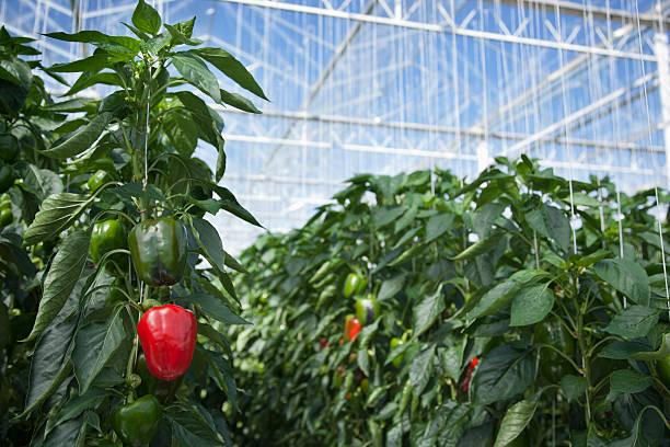 Produce growing in greenhouse:スマホ壁紙(壁紙.com)