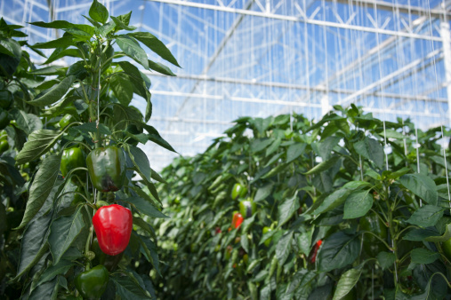 Bell Pepper「Produce growing in greenhouse」:スマホ壁紙(8)