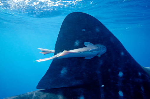 Remora Fish「Remora stuck on a Whale Shark dorsal fin」:スマホ壁紙(10)