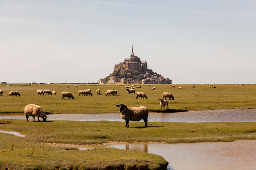 Abbey - Monastery「France, view to Mont Saint-Michel with grazing flock of sheep in the foreground」:スマホ壁紙(2)