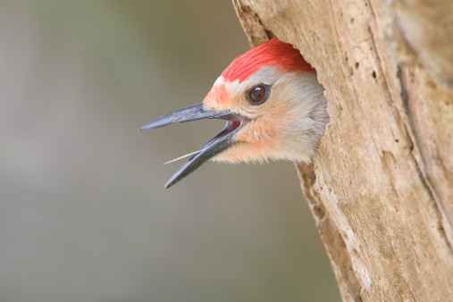 Beak「Red Bellied Woodpecker Calling, Head Close Up」:スマホ壁紙(18)