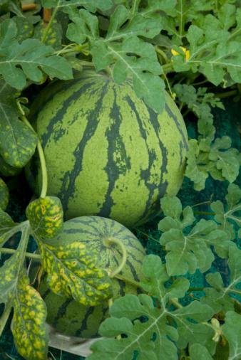 スイカ「Watermelons, close up」:スマホ壁紙(1)