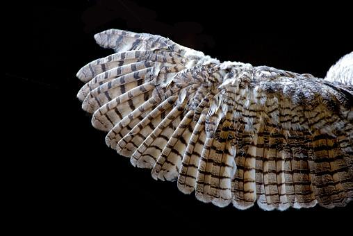Animal Wing「Owl's Wing... Close-up」:スマホ壁紙(10)