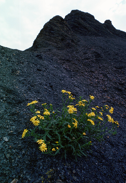 Shale「Oxford Ragwort On Shale, England, UK」:写真・画像(8)[壁紙.com]