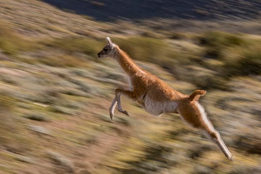 Guanaco「Guanaco (Lama guanicoe) jumping with slow  shutter speed 1/40 second」:スマホ壁紙(11)