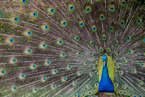 Showing Off「Male Peacock displaying」:スマホ壁紙(4)