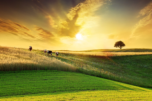 Domestic Cattle「Golden Sunset over Idyllic Farmland Landscape」:スマホ壁紙(13)