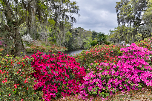 Charleston - South Carolina「Azelea in full bloom landscape」:スマホ壁紙(17)