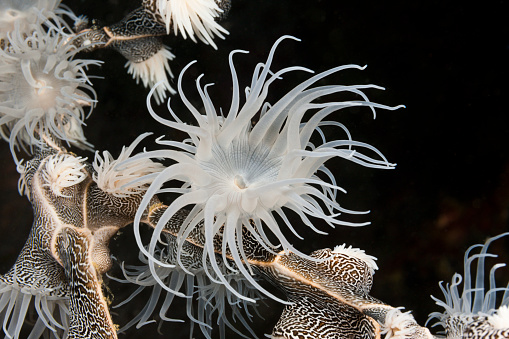 Arafura Sea「Colonising Anemone, Indonesia」:スマホ壁紙(15)