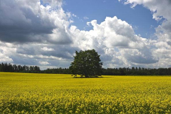 Oilseed Rape「Rigas, Latvia」:写真・画像(13)[壁紙.com]